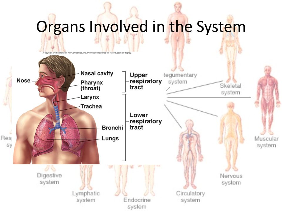 Organs Involved in the System