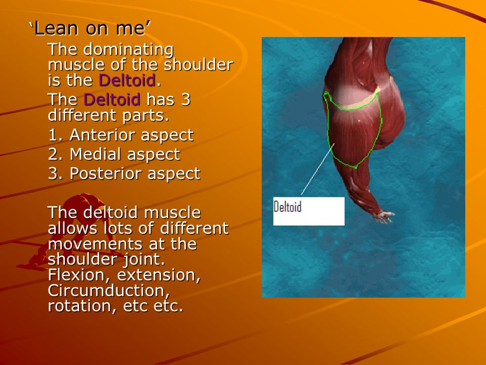 'Lean on me' The dominating muscle of the shoulder is the Deltoid. The Deltoid has 3 different parts.