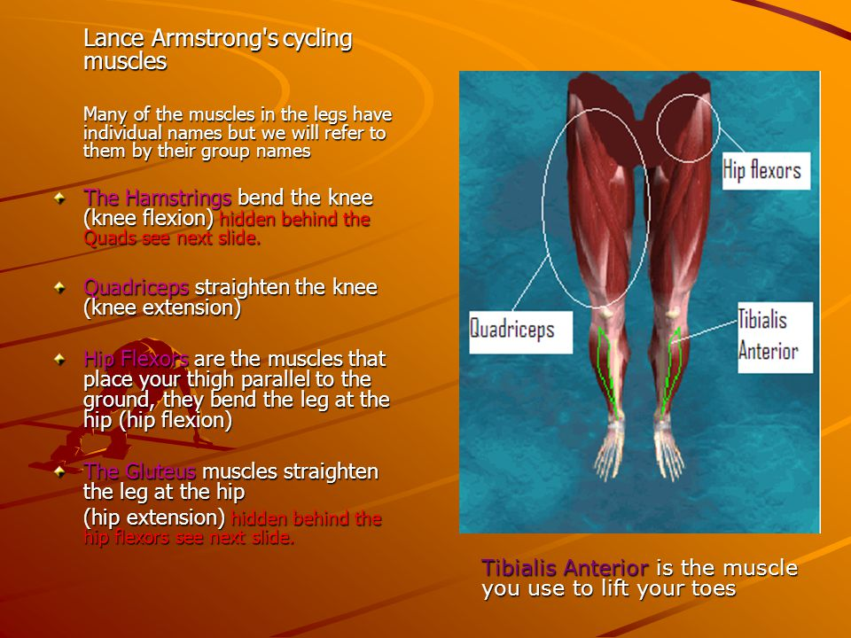 Lance Armstrong s cycling muscles
