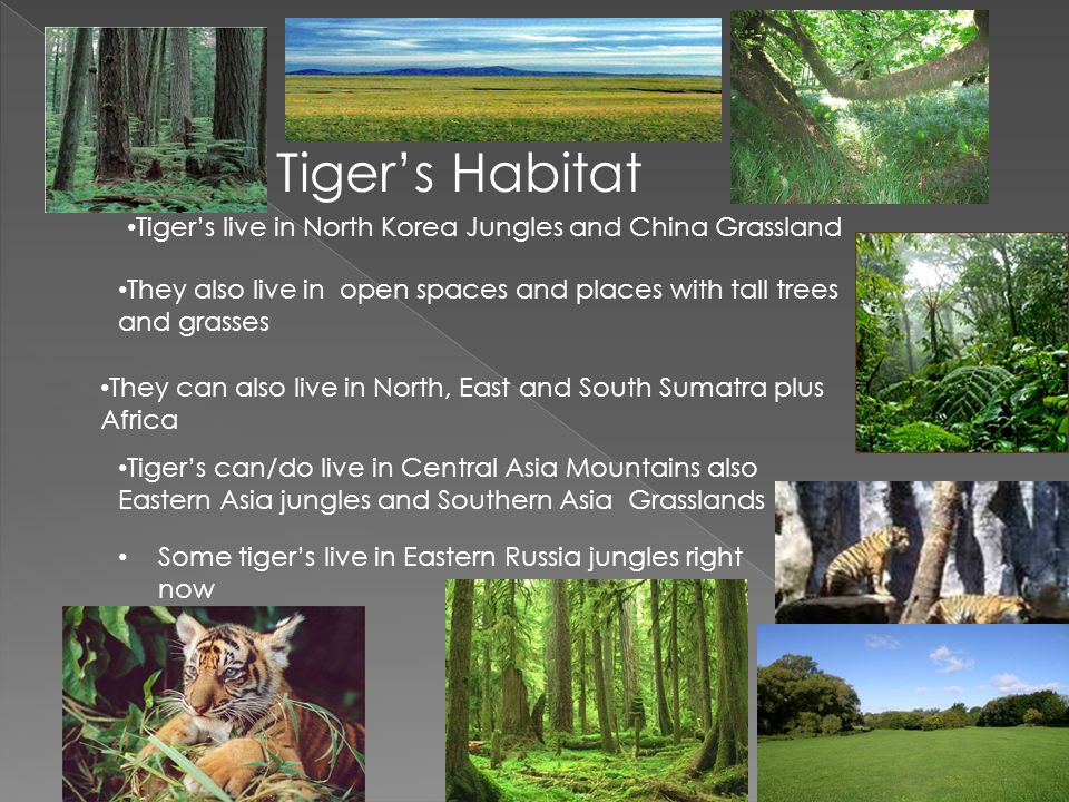Tiger's Habitat Tiger's live in North Korea Jungles and China Grassland. They also live in open spaces and places with tall trees and grasses.