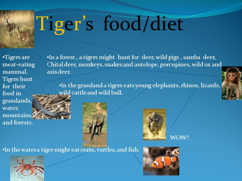 Tiger's food/diet Tigers are meat-eating mammal.