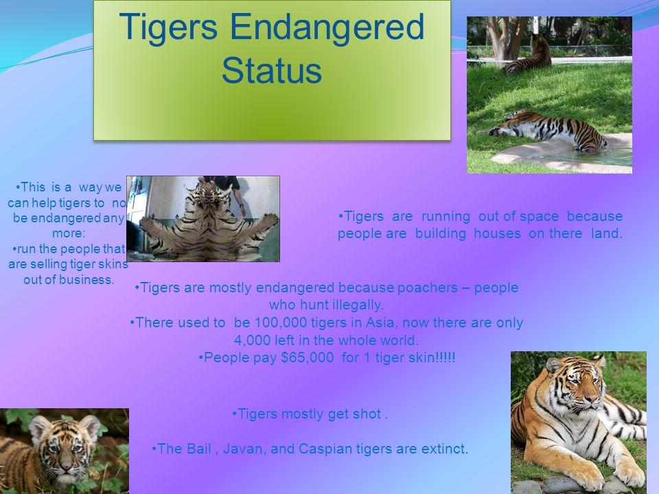 Tigers Endangered Status