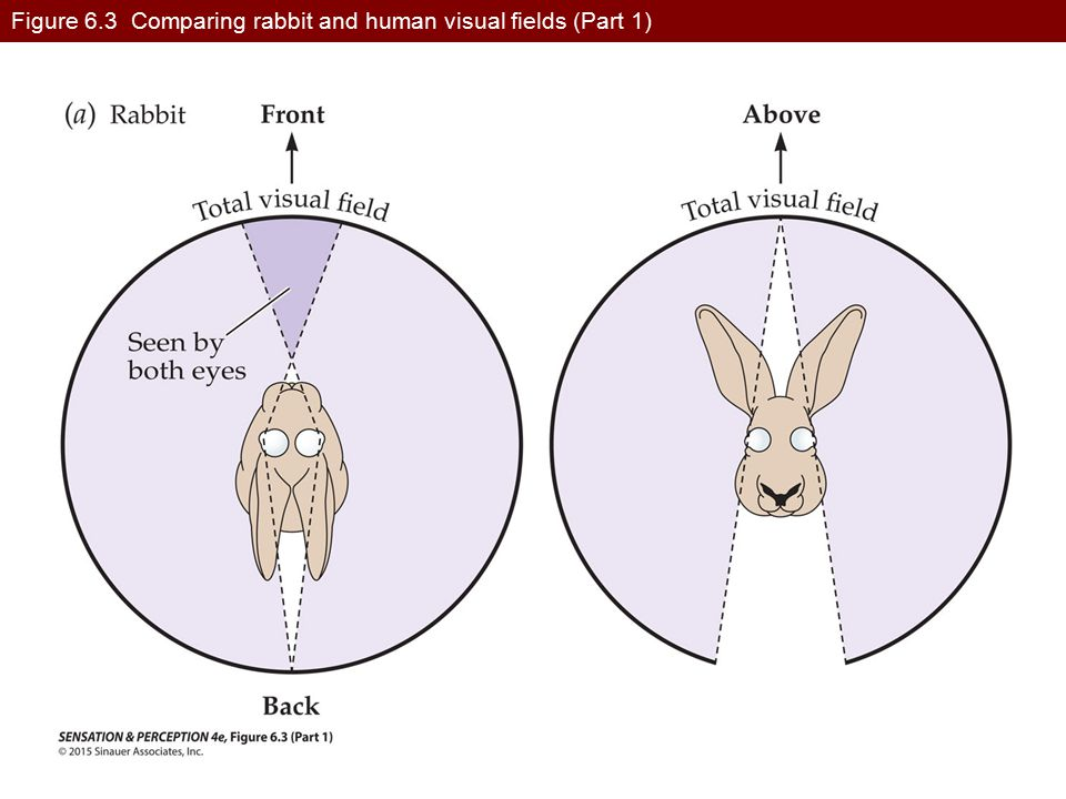 Figure 6.3 Comparing rabbit and human visual fields (Part 1)