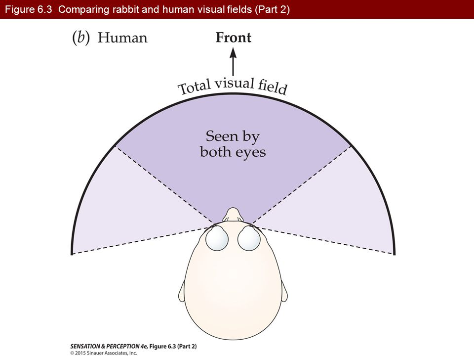 Figure 6.3 Comparing rabbit and human visual fields (Part 2)