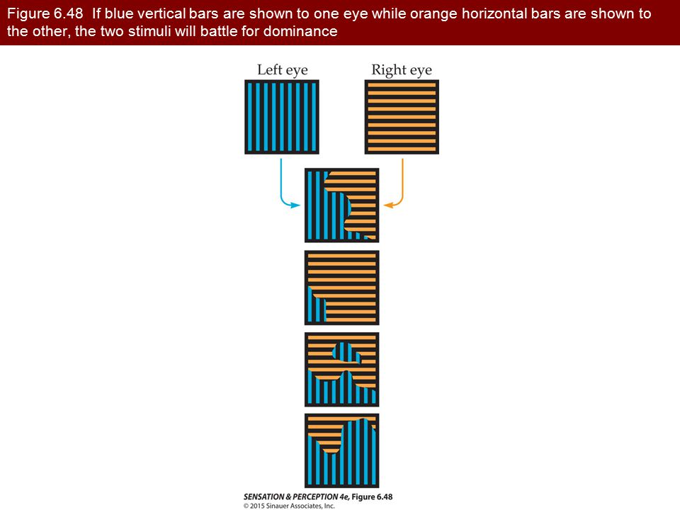 Figure 6.48 If blue vertical bars are shown to one eye while orange horizontal bars are shown to the other, the two stimuli will battle for dominance
