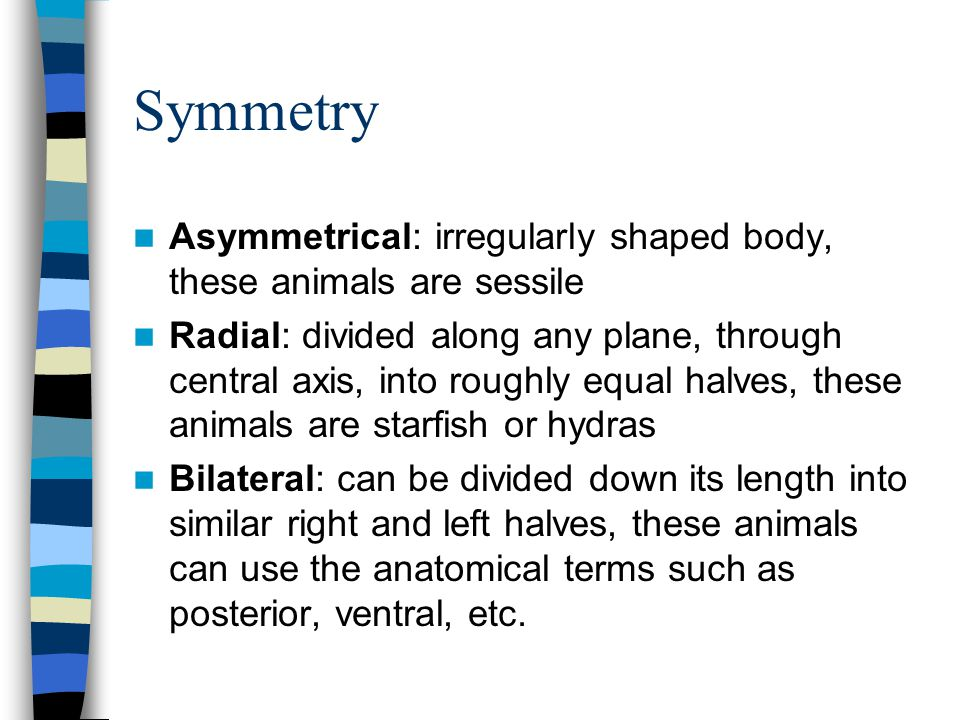 Symmetry Asymmetrical: irregularly shaped body, these animals are sessile.