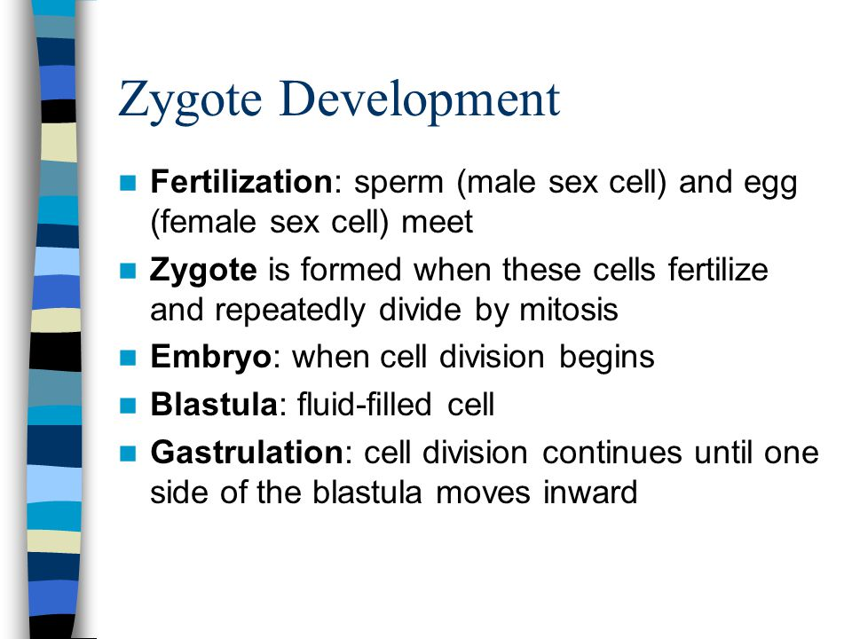 Zygote Development Fertilization: sperm (male sex cell) and egg (female sex cell) meet.