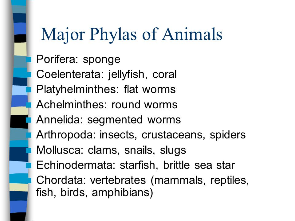 Major Phylas of Animals
