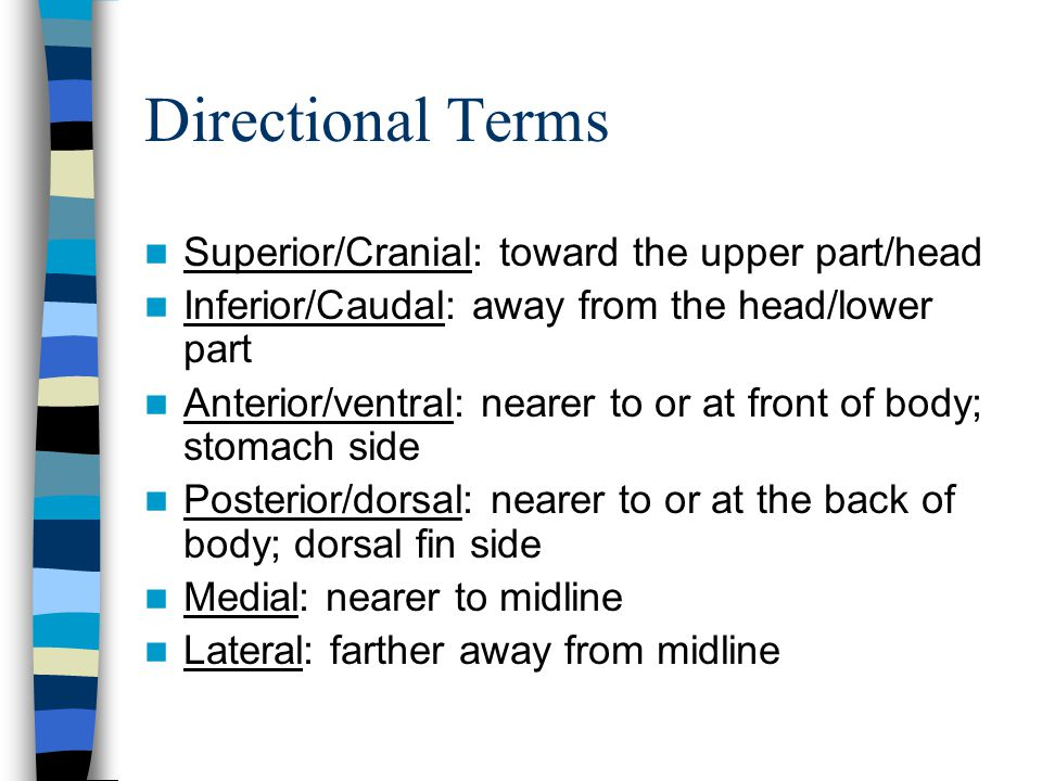 Directional Terms Superior/Cranial: toward the upper part/head