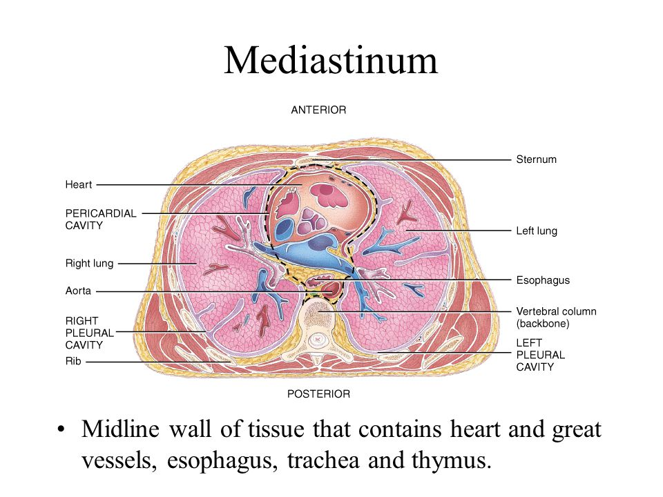 Mediastinum Midline wall of tissue that contains heart and great vessels, esophagus, trachea and thymus.