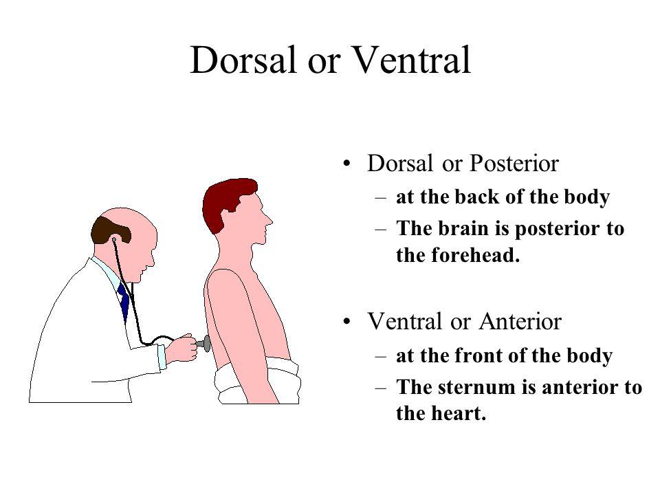 Dorsal or Ventral Dorsal or Posterior Ventral or Anterior