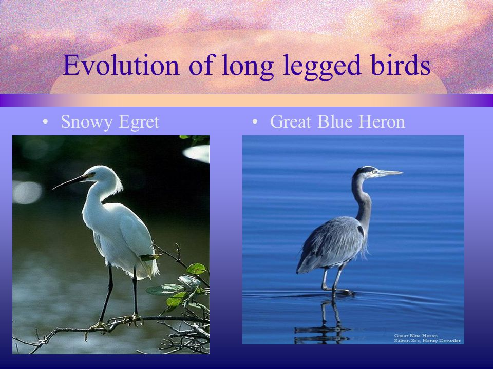 Evolution of long legged birds
