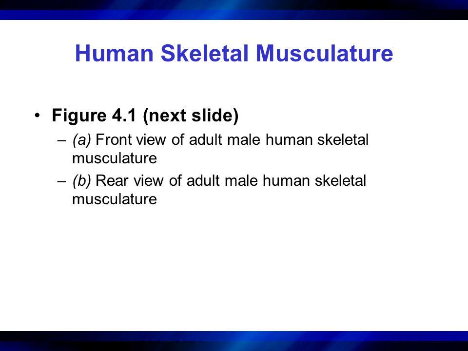 Human Skeletal Musculature