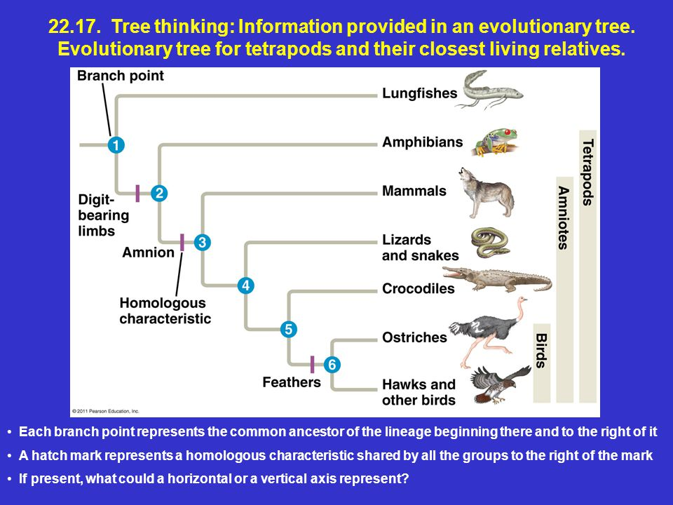 22.17. Tree thinking: Information provided in an evolutionary tree.