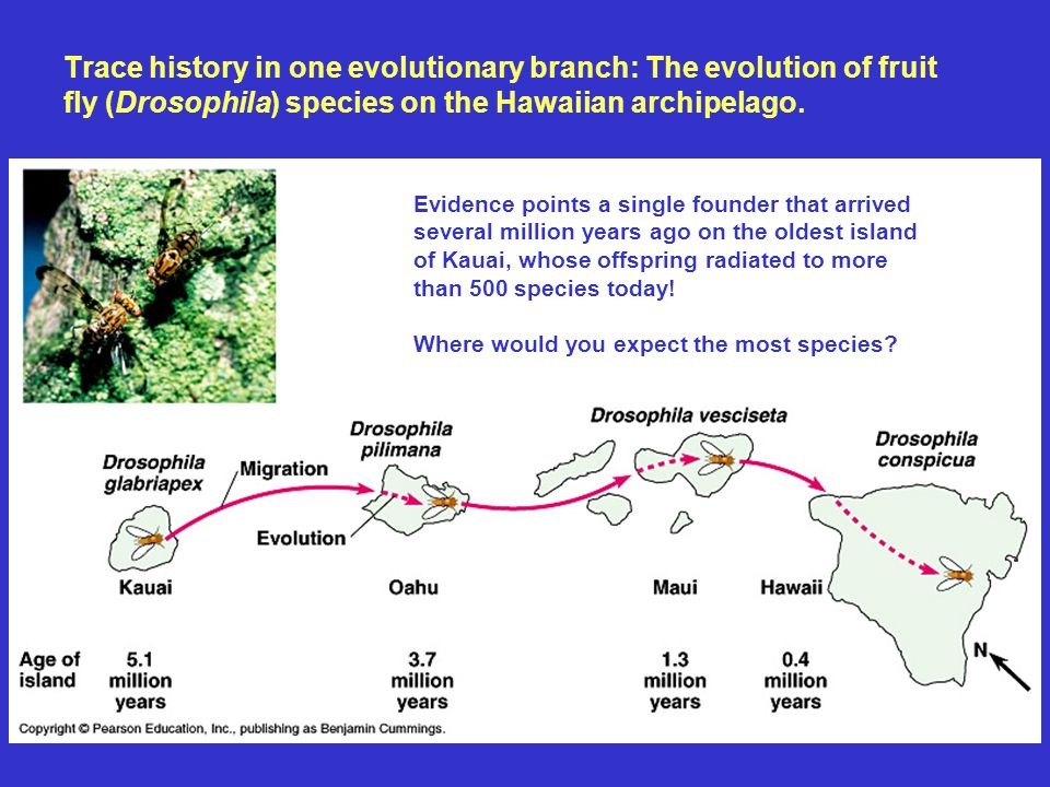 Trace history in one evolutionary branch: The evolution of fruit fly (Drosophila) species on the Hawaiian archipelago.