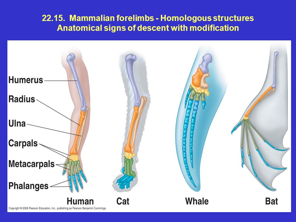 22.15. Mammalian forelimbs - Homologous structures Anatomical signs of descent with modification
