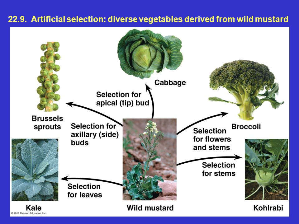 22.9. Artificial selection: diverse vegetables derived from wild mustard