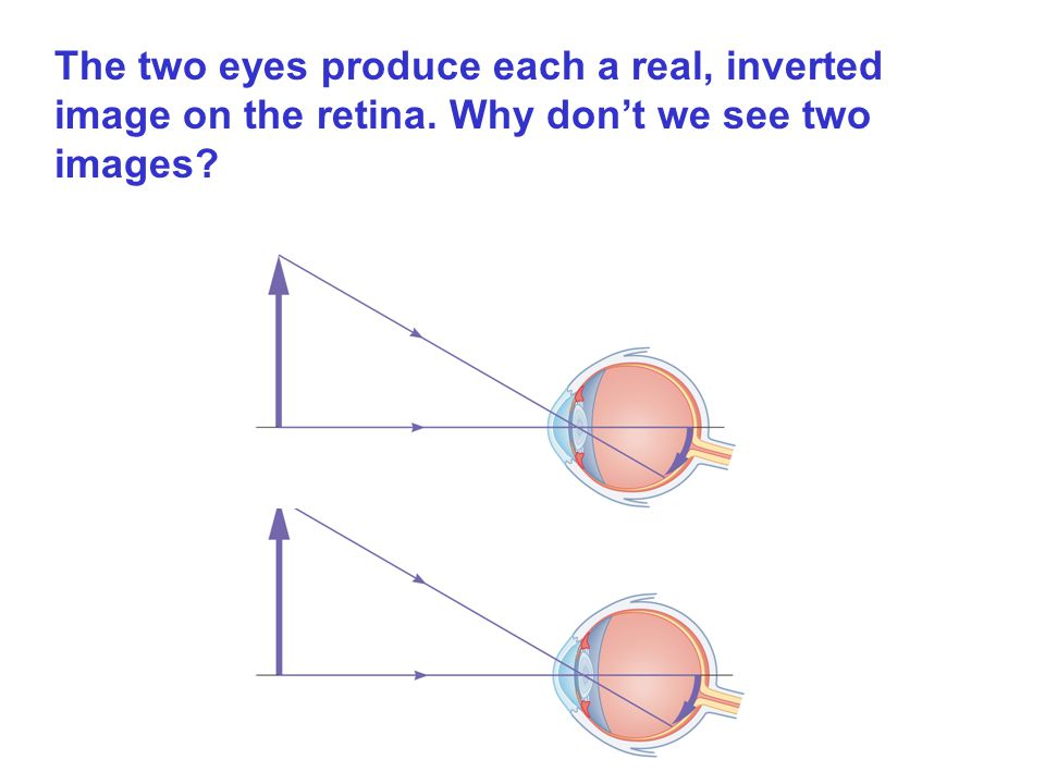 The two eyes produce each a real, inverted image on the retina