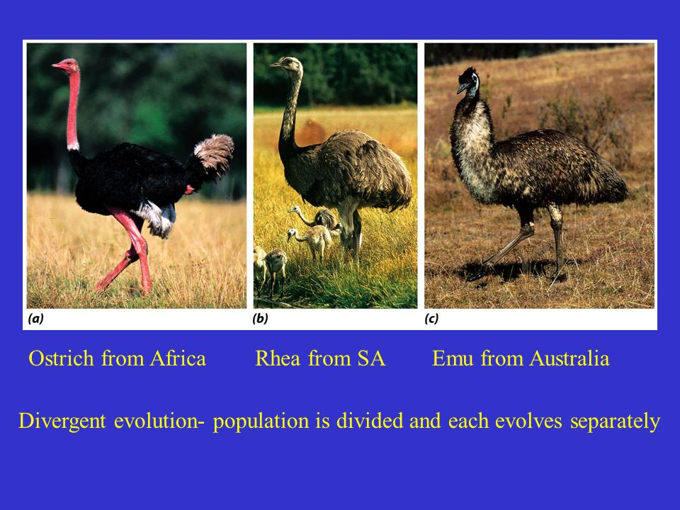 Ostrich from Africa Rhea from SA. Emu from Australia.