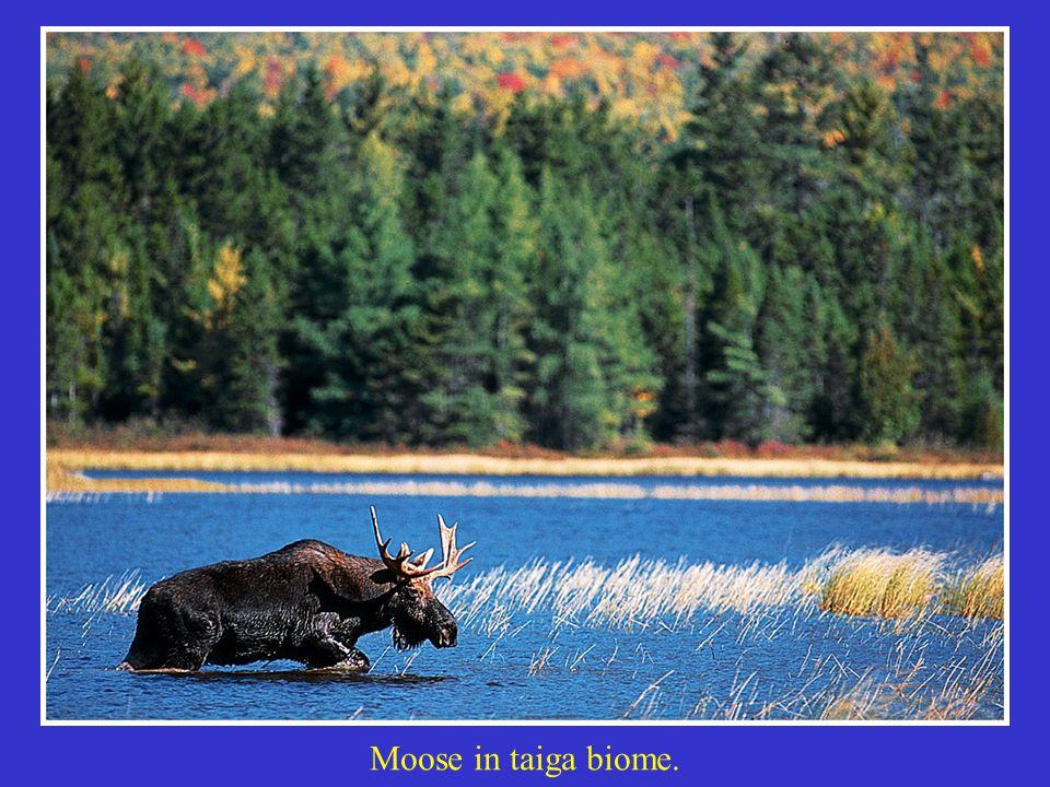 Moose in taiga biome.