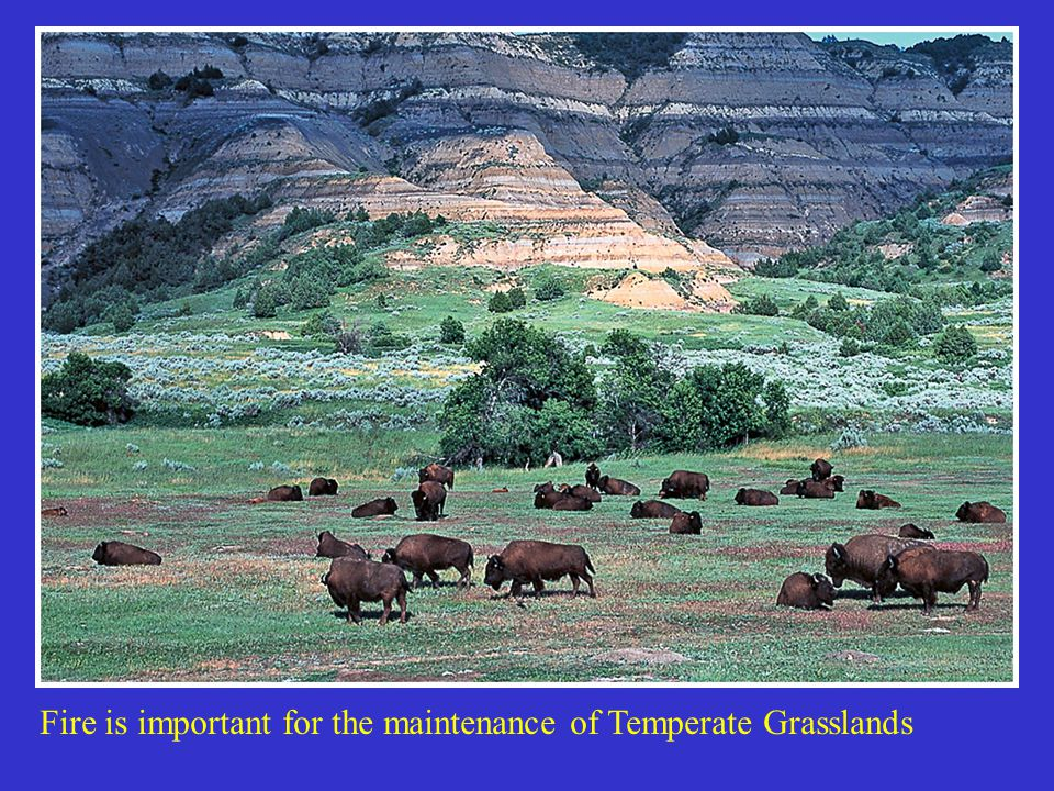 Fire is important for the maintenance of Temperate Grasslands