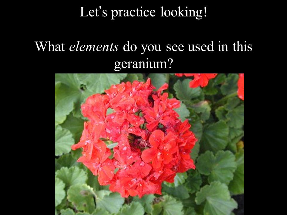 Let's practice looking! What elements do you see used in this geranium