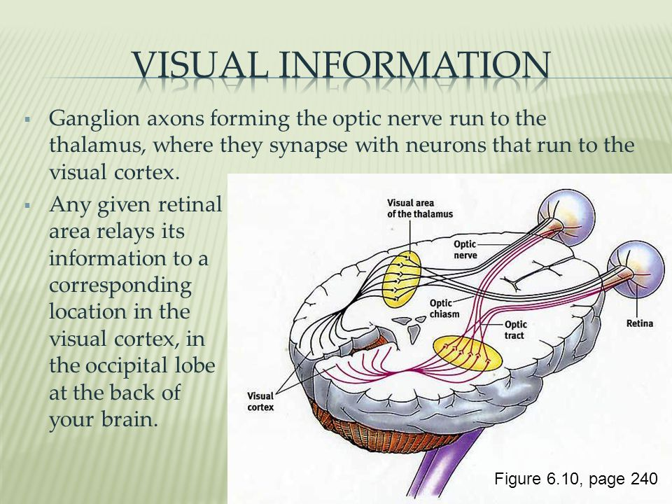Visual information Ganglion axons forming the optic nerve run to the thalamus, where they synapse with neurons that run to the visual cortex.