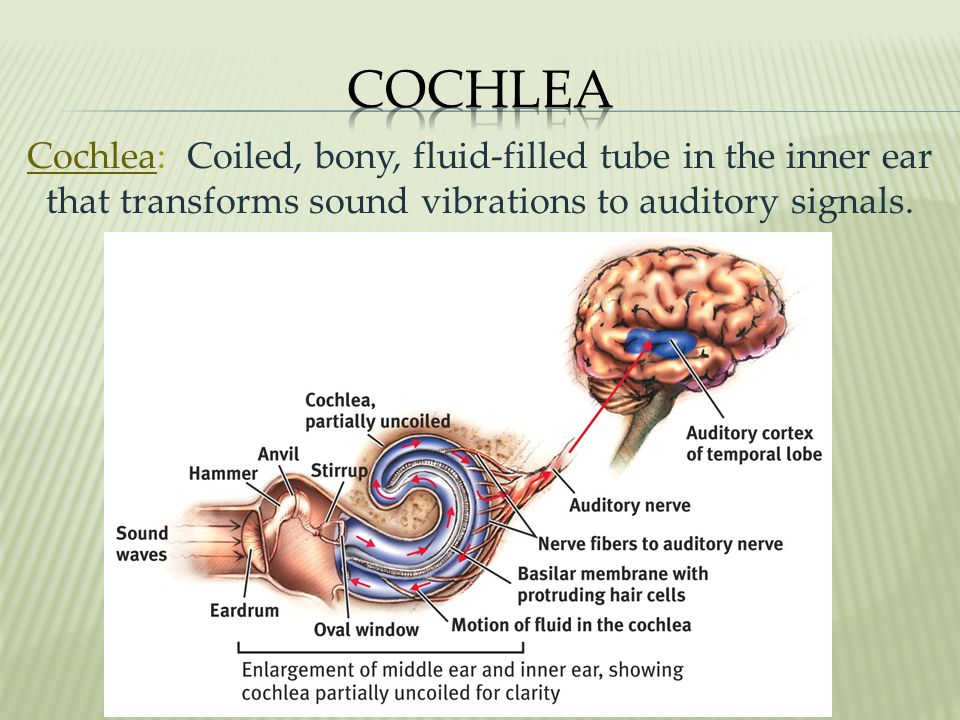 Cochlea Cochlea: Coiled, bony, fluid-filled tube in the inner ear that transforms sound vibrations to auditory signals.