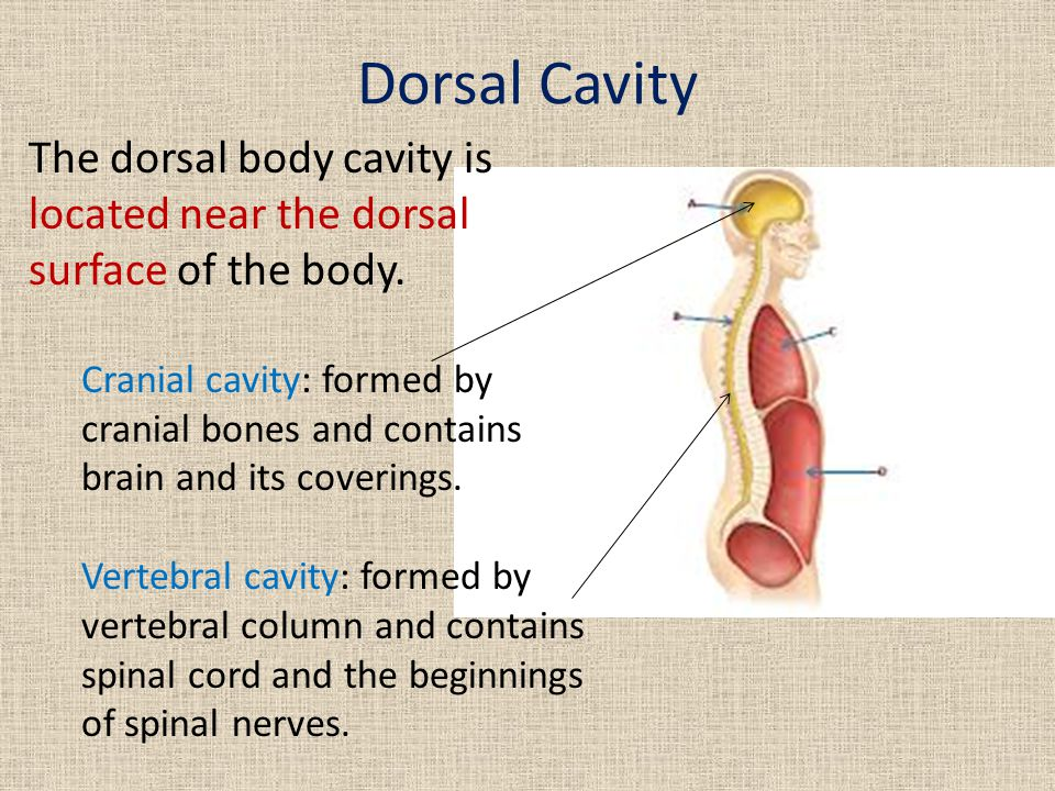 Dorsal Cavity The dorsal body cavity is located near the dorsal surface of the body.