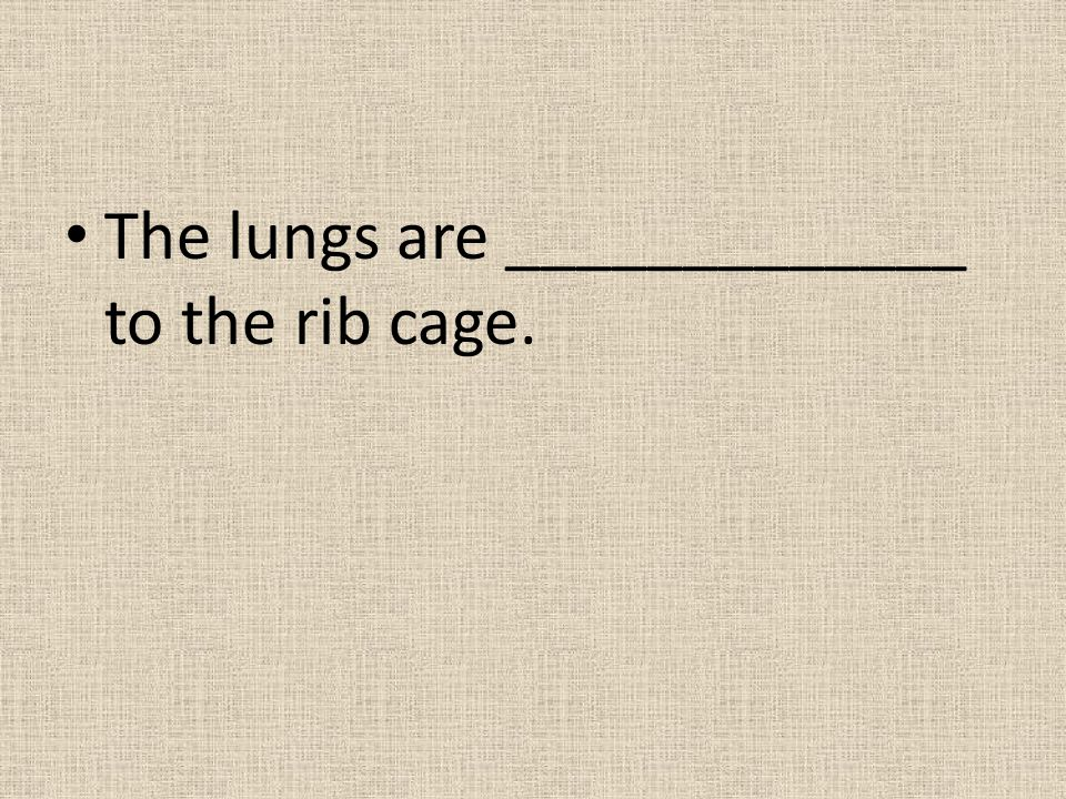 The lungs are _____________ to the rib cage.