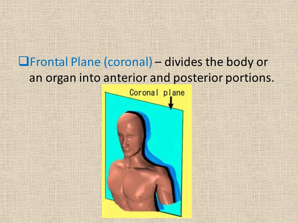 Frontal Plane (coronal) – divides the body or an organ into anterior and posterior portions.