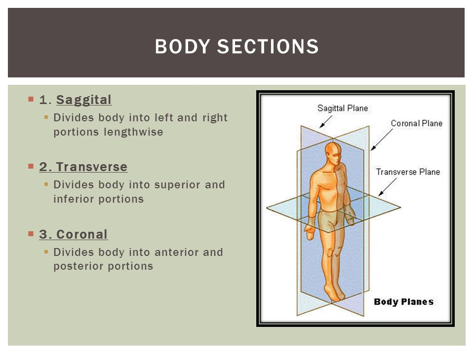 Body sections 1. Saggital 2. Transverse 3. Coronal