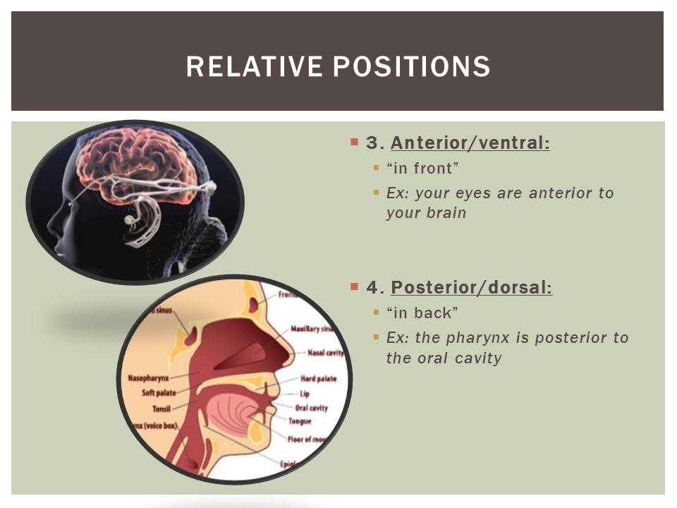 Relative positions 3. Anterior/ventral: 4. Posterior/dorsal: