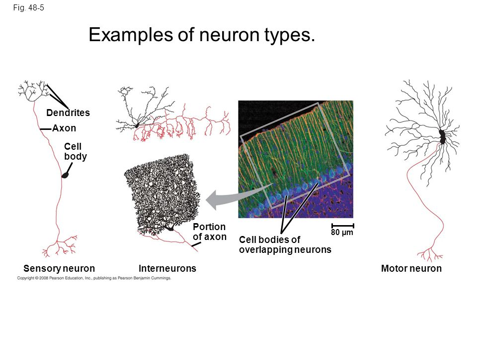 Examples of neuron types.