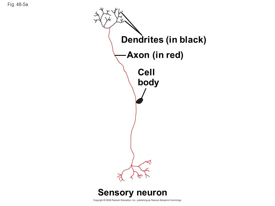 Fig. 48-5a Dendrites (in black) Axon (in red) Cell body Sensory neuron