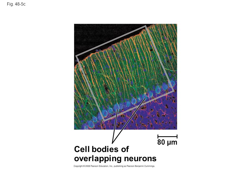 Fig. 48-5c 80 µm Cell bodies of overlapping neurons