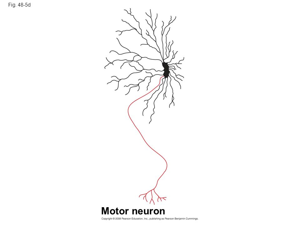 Fig. 48-5d Motor neuron