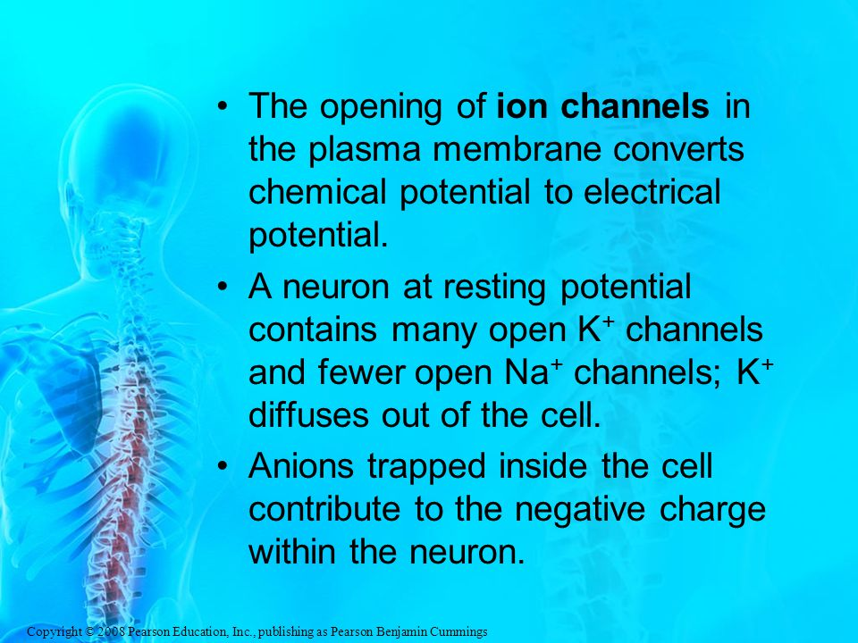 The opening of ion channels in the plasma membrane converts chemical potential to electrical potential.