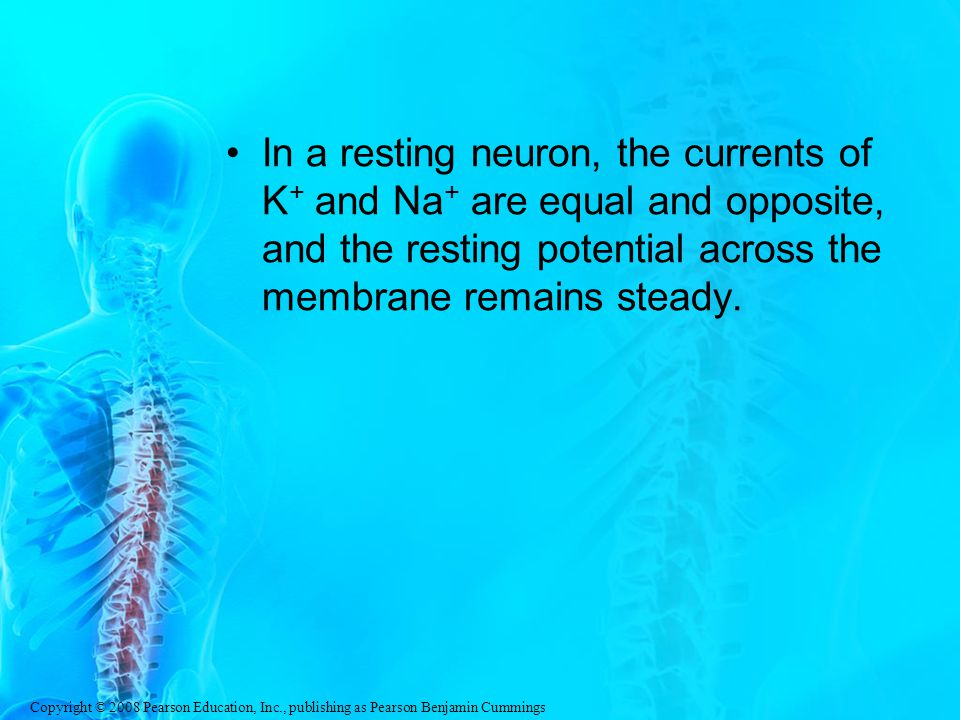 In a resting neuron, the currents of K+ and Na+ are equal and opposite, and the resting potential across the membrane remains steady.