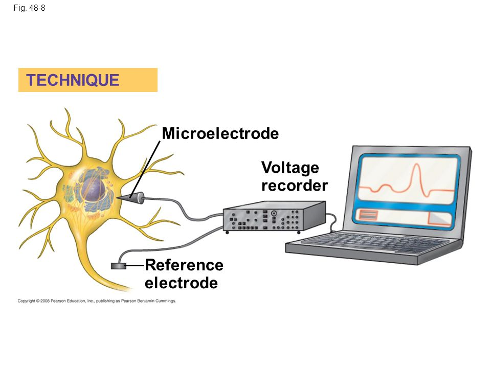 TECHNIQUE Microelectrode Voltage recorder Reference electrode