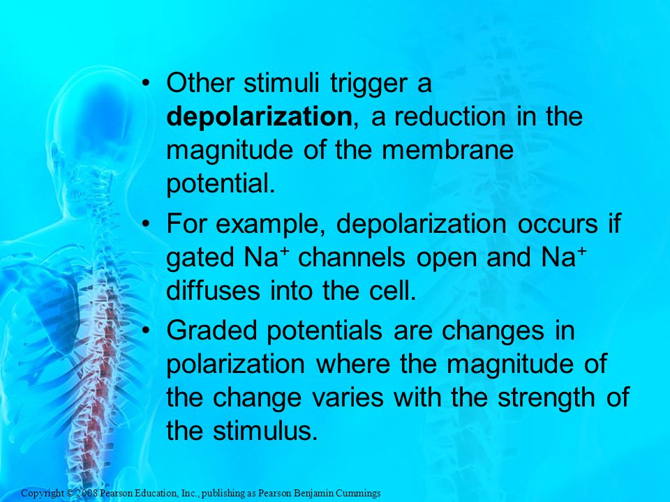 Other stimuli trigger a depolarization, a reduction in the magnitude of the membrane potential.