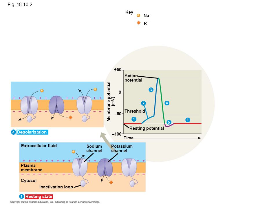 Fig. 48-10-2 Key Na+ K+ +50 Action potential Membrane potential (mV)