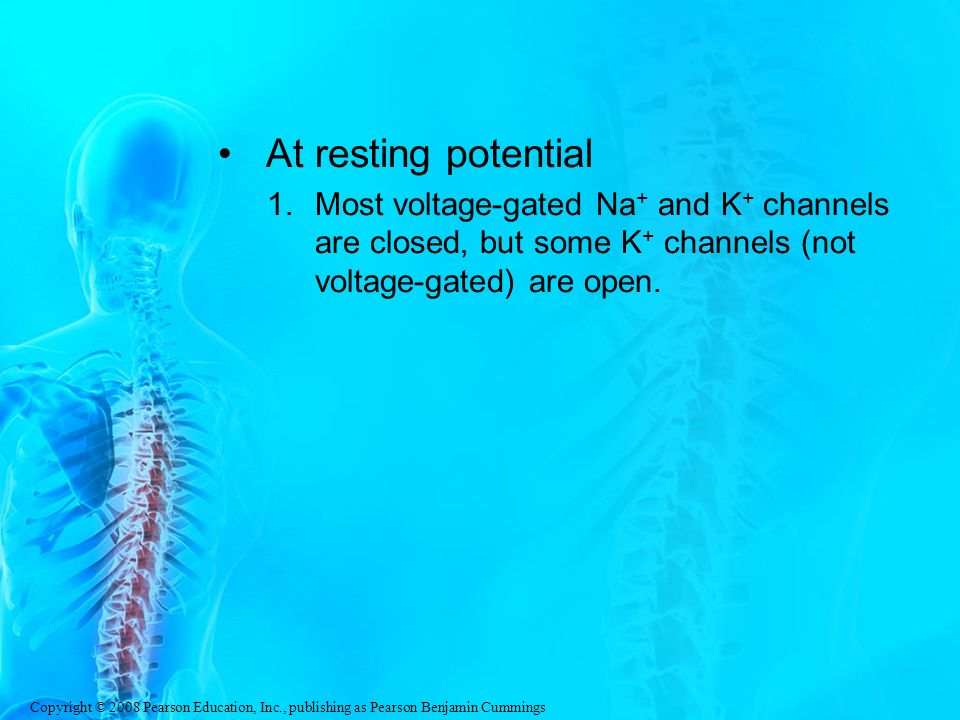 At resting potential Most voltage-gated Na+ and K+ channels are closed, but some K+ channels (not voltage-gated) are open.