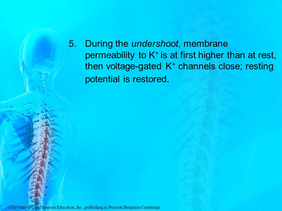 During the undershoot, membrane permeability to K+ is at first higher than at rest, then voltage-gated K+ channels close; resting potential is restored.