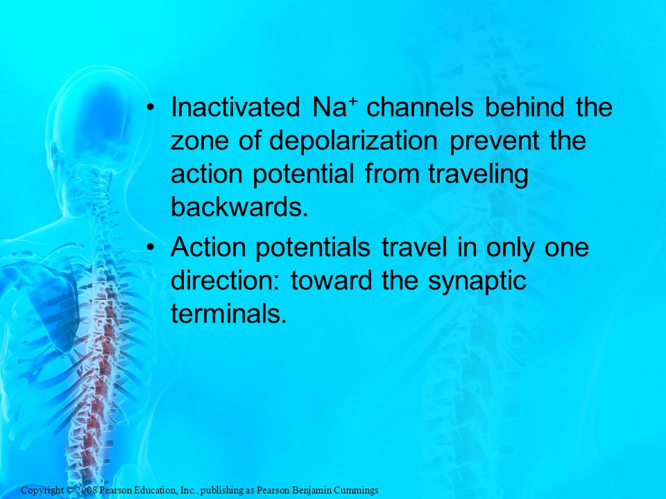 Inactivated Na+ channels behind the zone of depolarization prevent the action potential from traveling backwards.