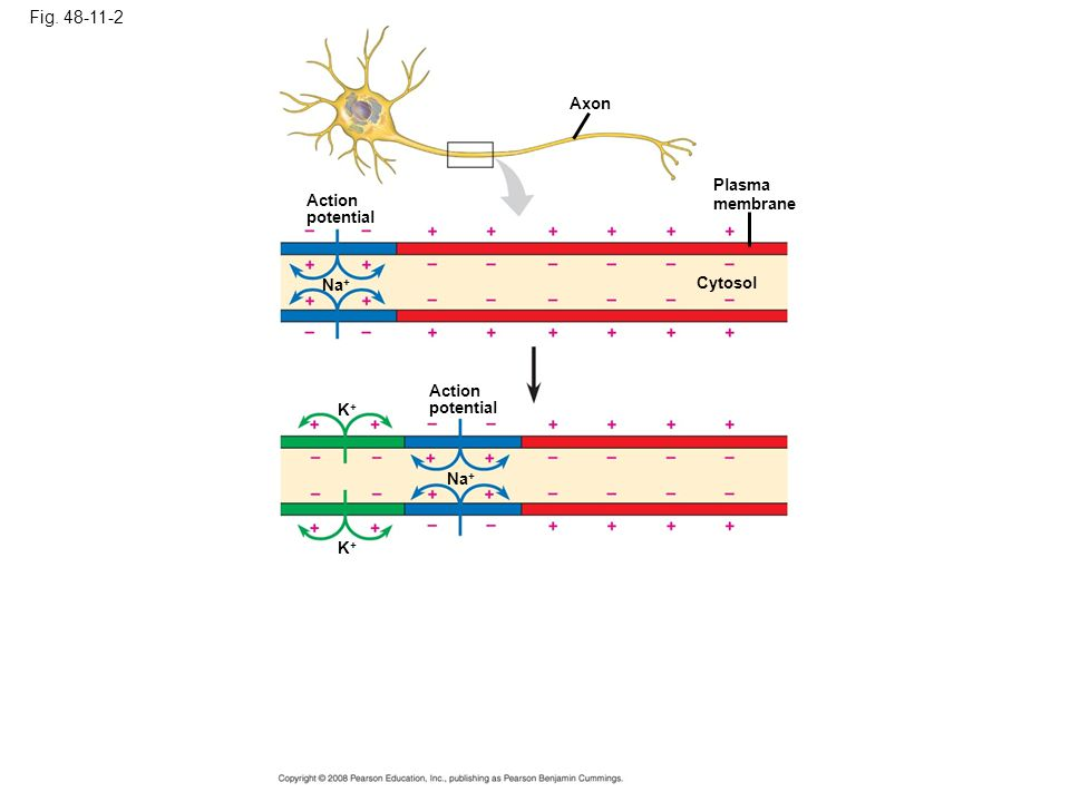 Fig. 48-11-2 Axon Plasma membrane Action potential Na+ Cytosol Action