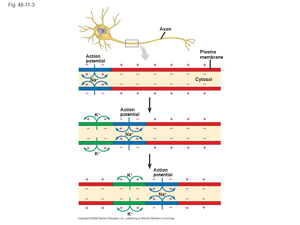 Fig. 48-11-3 Axon Plasma membrane Action potential Na+ Cytosol Action