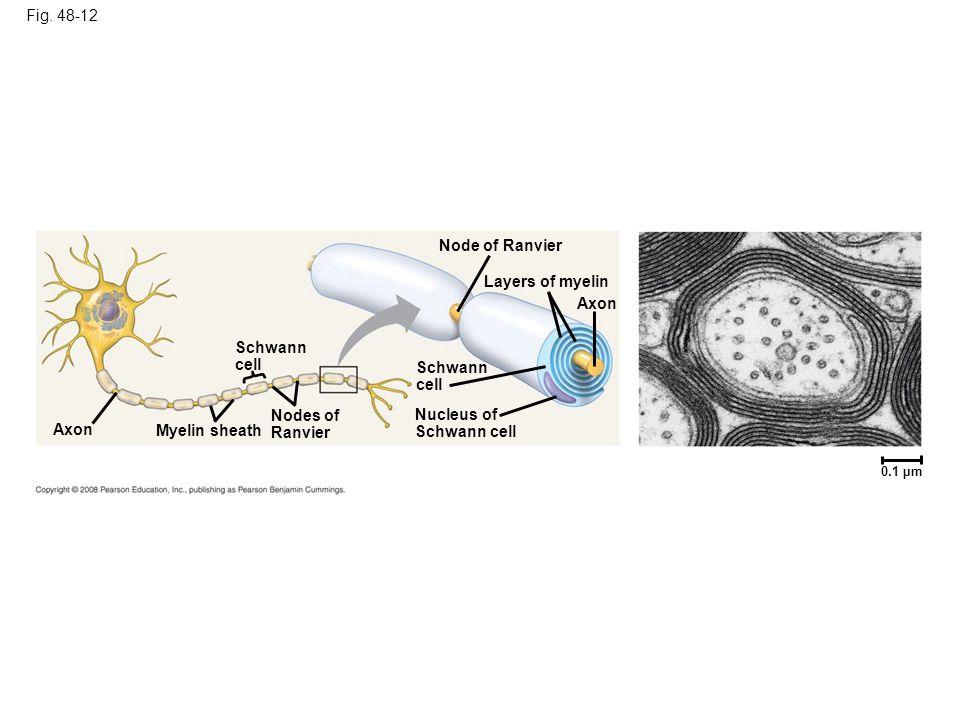 Fig. 48-12 Node of Ranvier Layers of myelin Axon Schwann cell Schwann