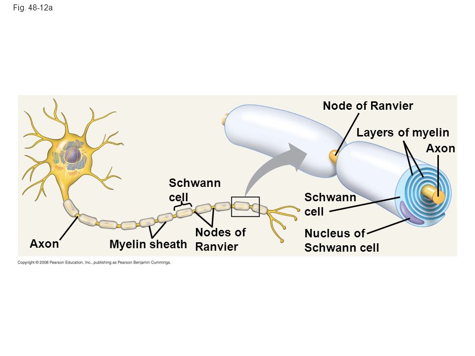 Node of Ranvier Layers of myelin Axon Schwann cell Schwann cell