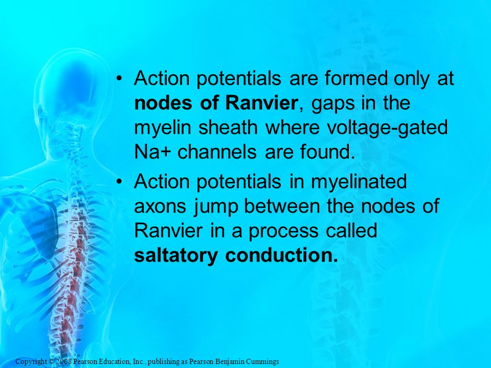 Action potentials are formed only at nodes of Ranvier, gaps in the myelin sheath where voltage-gated Na+ channels are found.